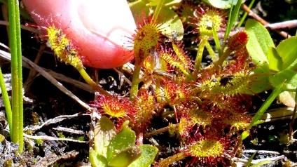 Carniverous plant_flytrap