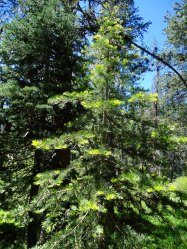 Pinus_new growth 2
