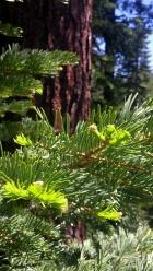 Pinus_new growth